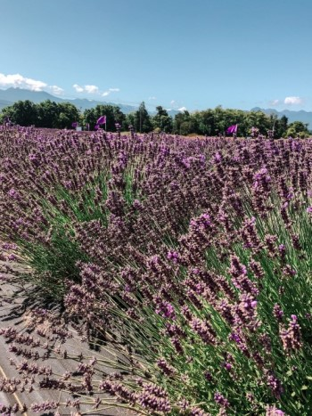lavendar fields in Olympic Peninsula Washington, Blue Eyed Compass